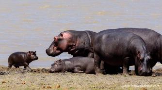 Hippos, Vwaza Marsh, Malawi